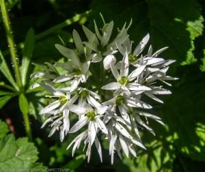 Baerlauch Flower