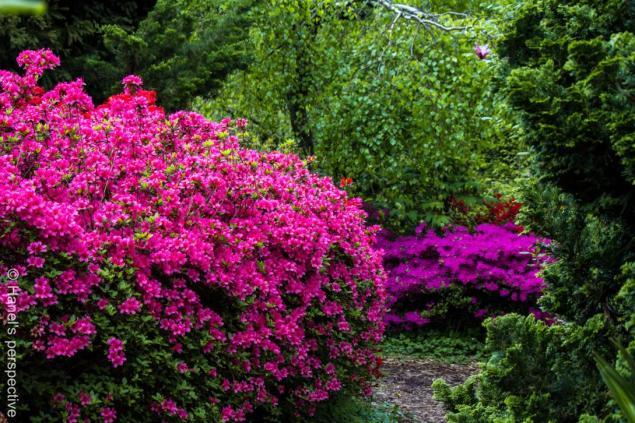Azaleas, Botanical Garden of Gambarogno