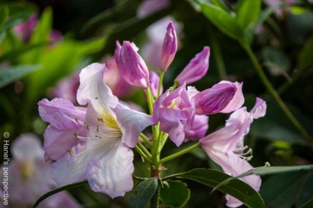 Azalea close-up