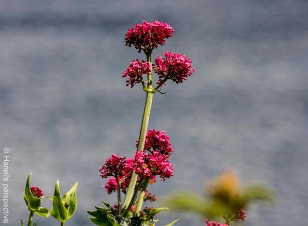Flowers at the Lago Maggiore