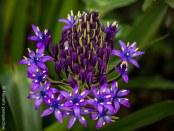 Sternbergia, from Australia