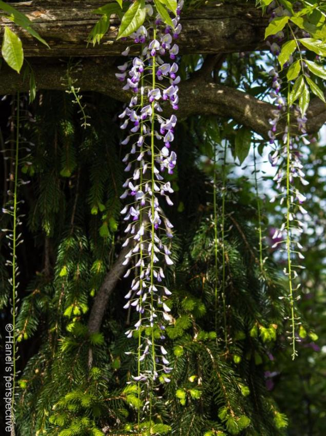 Wisteria hanging delicately