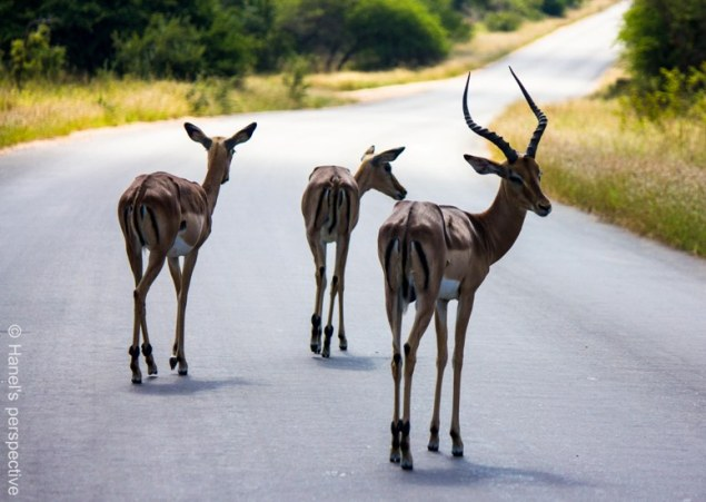 "Impalas, known by the ""M"" like curves on their buttocks"