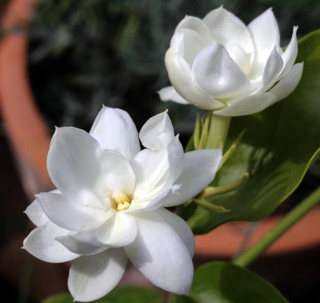 Indian Jasmine, a.k.a Motia